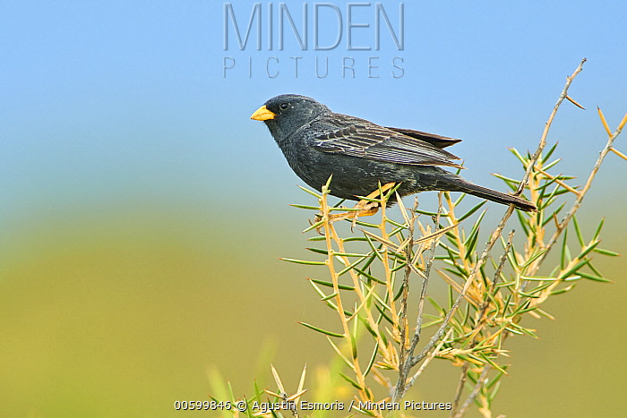 Carbonated Sierra-Finch (Phrygilus carbonarius), Puerto Madryn, Argentina