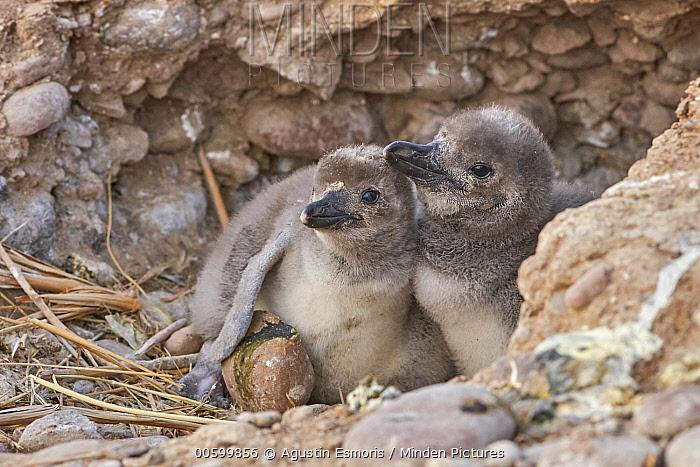 Magellanic Penguin (Spheniscus magellanicus) chicks, Argentina