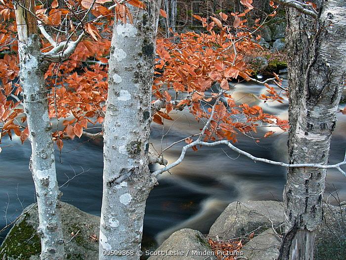 American Beech (Fagus grandifolia) trees and river in autumn, Bear River, Nova Scotia, Canada