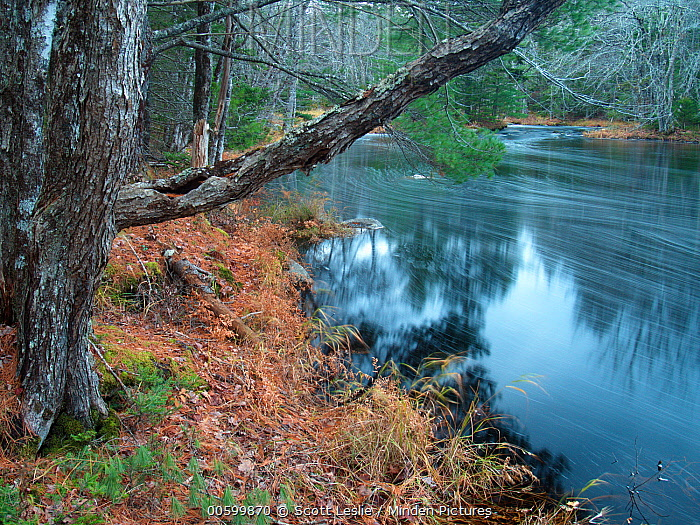 Red Maple (Acer rubrum) trees and river, Nova Scotia, Canada