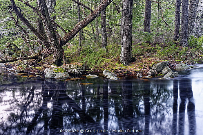 Canadian Hemlock (Tsuga canadensis) trees and river, Mersey River, Medway Lakes Wilderness Area, Nova Scotia, Canada