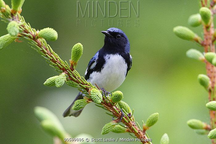 Black-throated Blue Warbler (Setophaga caerulescens) male in breeding plumage, Nova Scotia, Canada