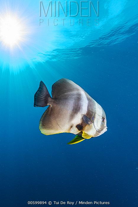 Batfish (Platax sp), Helengeli Thila, Maldives