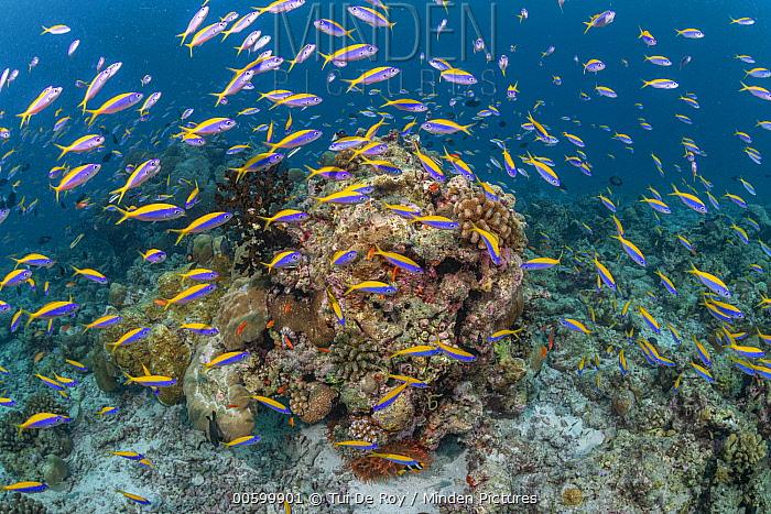 Yellowback Fusilier (Caesio xanthonota) school in coral reef, Maldives