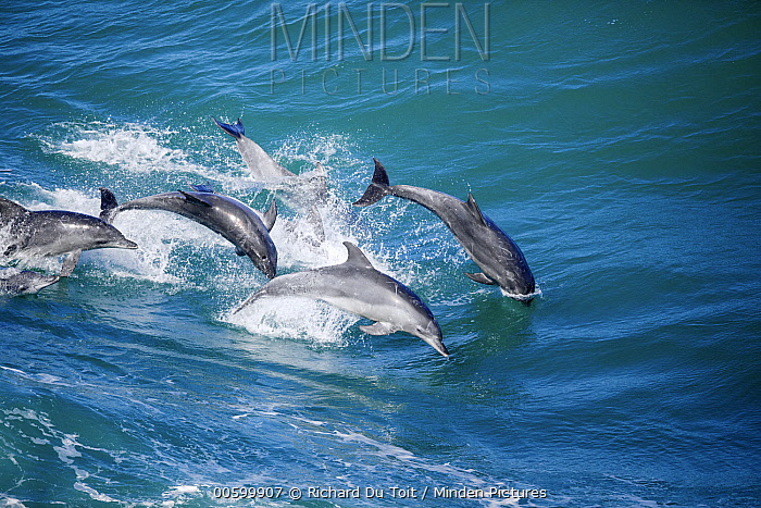 Indo-pacific Bottlenose Dolphin (Tursiops aduncus) pod jumping, Garden Route National Park, South Africa