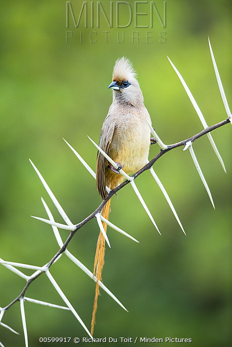Speckled Mousebird (Colius striatus) perching on thorny branch, Garden Route National Park, South Africa