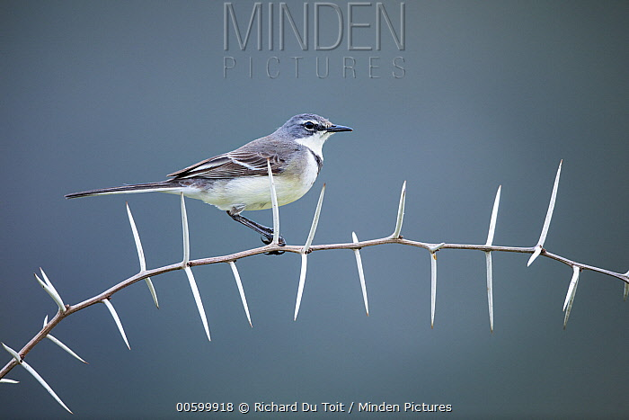 Cape Wagtail (Motacilla capensis) perching on thorny branch, Garden Route National Park, South Africa