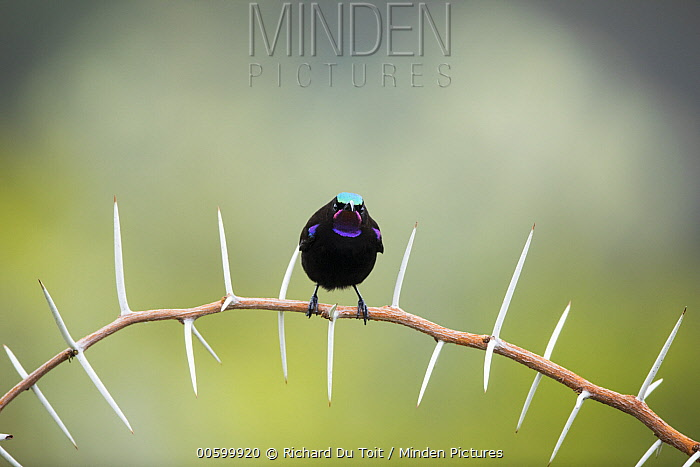 Amethyst Sunbird (Nectarinia amethystina) male perching on thorny branch, Garden Route National Park, South Africa