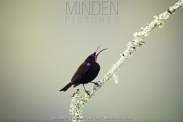 Amethyst Sunbird (Nectarinia amethystina) male calling, Garden Route National Park, South Africa