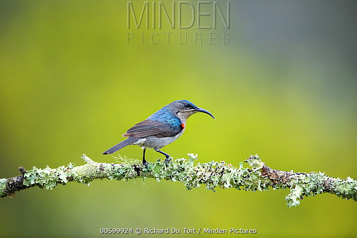 Mouse-colored Sunbird (Nectarinia veroxii), Garden Route National Park, South Africa