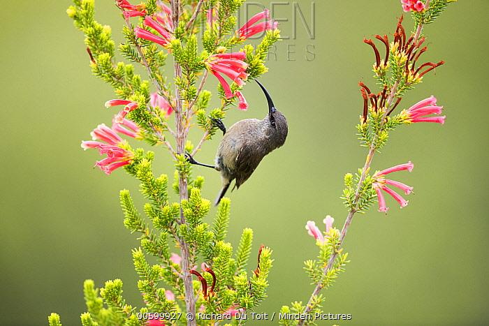 Greater Double-collared Sunbird (Nectarinia afra) female feeding on flower nectar, Garden Route National Park, South Africa