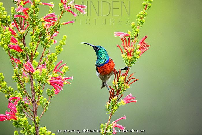Greater Double-collared Sunbird (Nectarinia afra) male feeding on flower nectar, Garden Route National Park, South Africa
