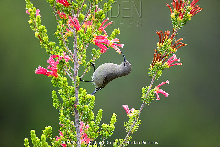 Southern Double-collared Sunbird (Cinnyris chalybeus) feeding on flower nectar, Garden Route National Park, South Africa