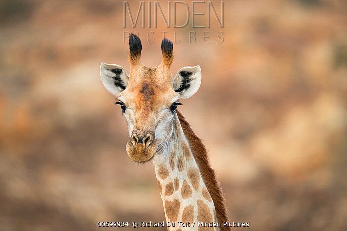 Giraffe (Giraffa camelopardalis) female, Mapungubwe National Park, South Africa