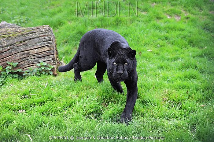 Jaguar (Panthera onca), melanistic morph running, native to the Americas