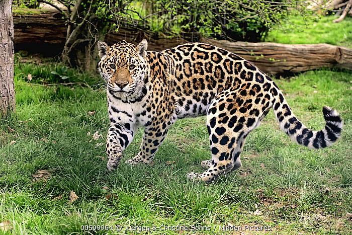 Jaguar (Panthera onca), native to the Americas