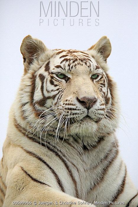 Bengal Tiger (Panthera tigris tigris), white morph, native to Asia