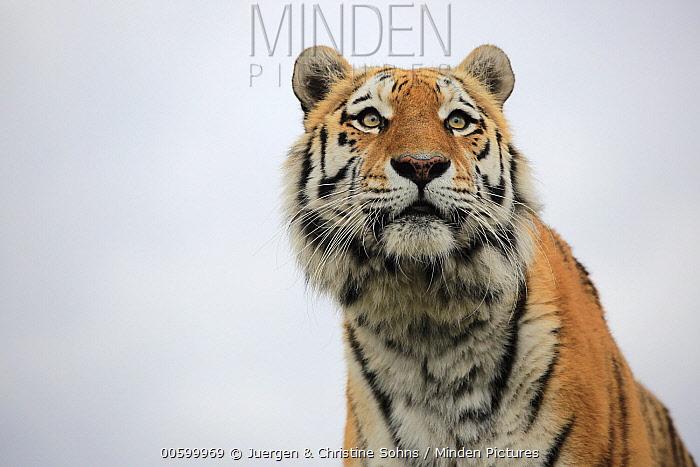 Bengal Tiger (Panthera tigris tigris), native to Asia
