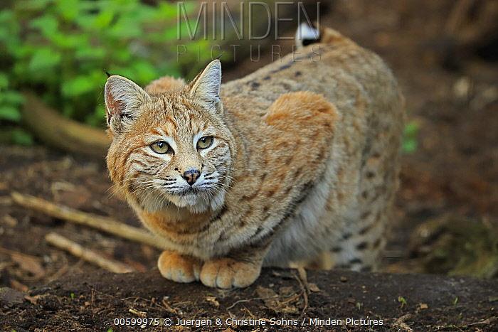 Bobcat (Lynx rufus), native to North America