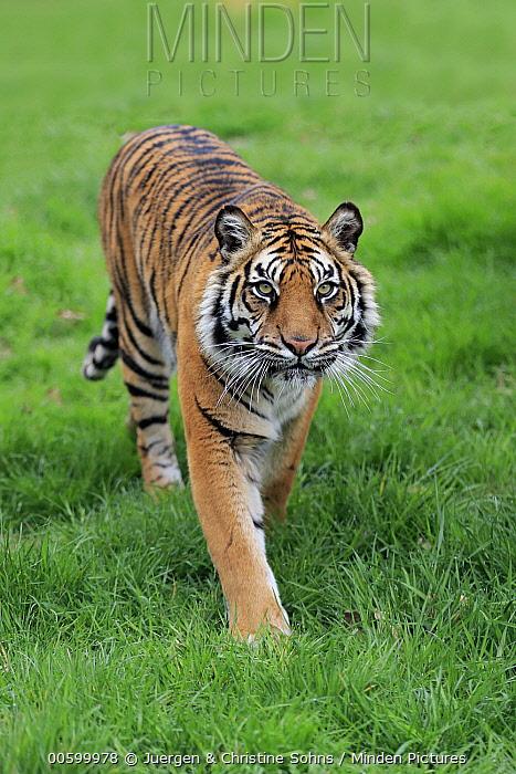Sumatran Tiger (Panthera tigris sumatrae), native to Asia
