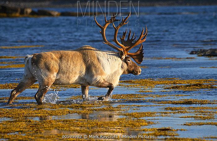 Woodland Caribou (Rangifer tarandus caribou) bull crossing river in autumn, Newfoundland, Canada
