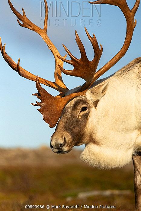 Woodland Caribou (Rangifer tarandus caribou) bull in autumn, Newfoundland, Canada