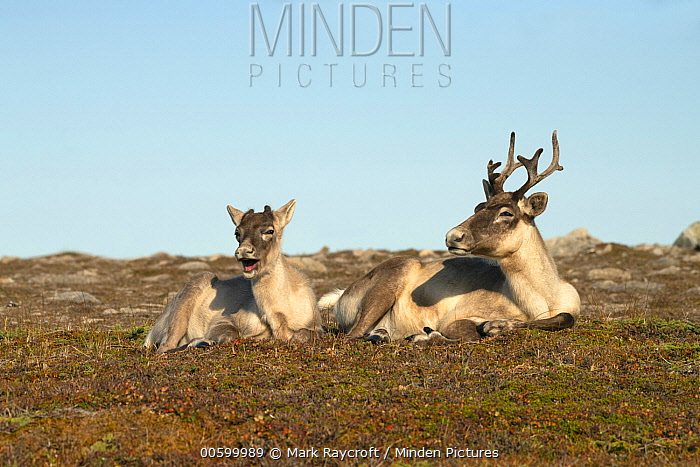Woodland Caribou (Rangifer tarandus caribou) females in autumn, Newfoundland, Canada