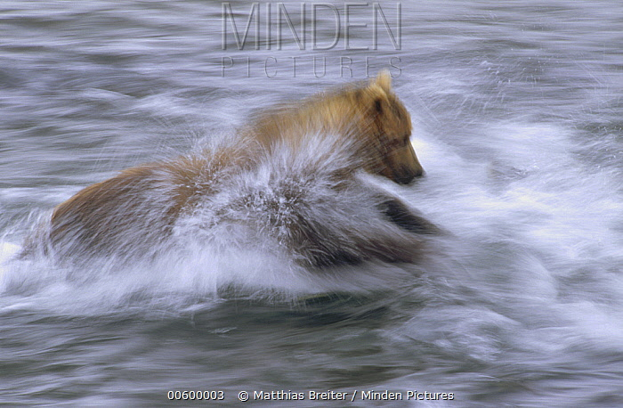 Grizzly Bear (Ursus arctos horribilis) chasing fish in shallow water, Katmai National Park, Alaska  -  Matthias Breiter