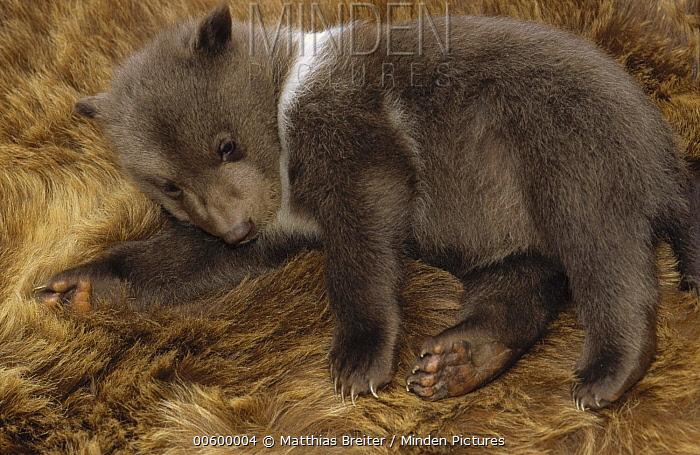 Kodiak Bear (Ursus arctos middendorffi) four week old cub, native to Kodiak Island, Alaska  -  Matthias Breiter