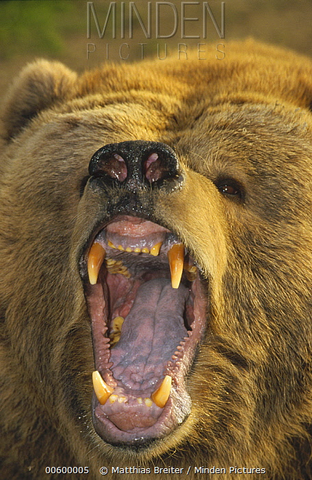 Kodiak Bear (Ursus arctos middendorffi) with mouth agape, native to Kodiak Island, Alaska  -  Matthias Breiter