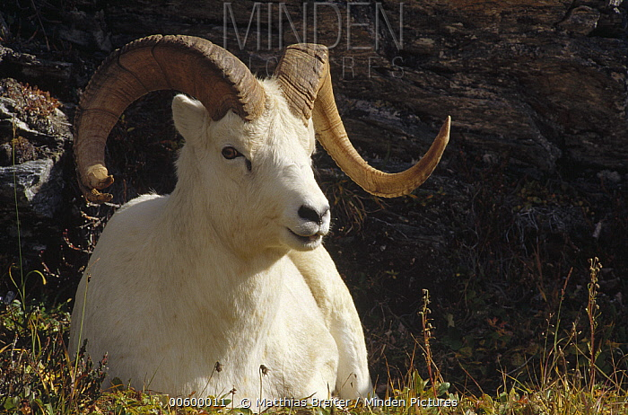 Horn Minden minden pictures stock photos dall s sheep ovis dalli ram with