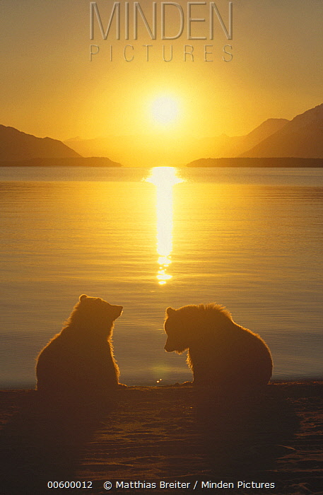 Grizzly Bear (Ursus arctos horribilis) cubs silhouetted against water at sunrise, Katmai National Park, Alaska  -  Matthias Breiter