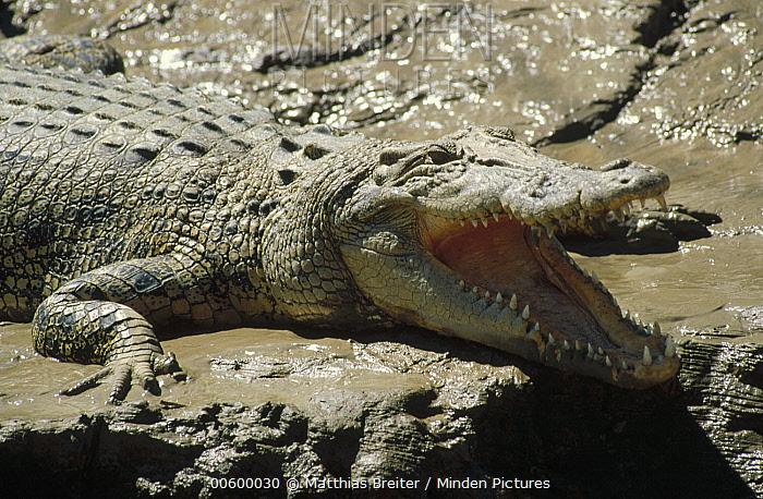 Saltwater Crocodile (Crocodylus porosus) with mouth open, in mud, Kakadu National Park, Australia  -  Matthias Breiter
