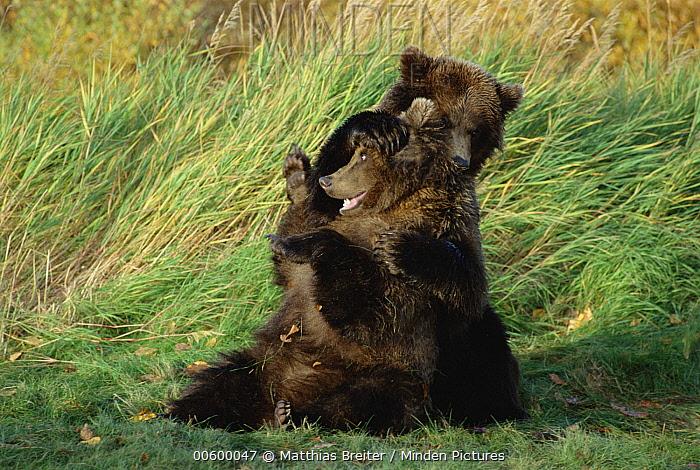Grizzly Bear (Ursus arctos horribilis) yearling cubs playing, Katmai National Park, Alaska  -  Matthias Breiter