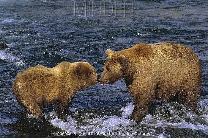 Grizzly Bear (Ursus arctos horribilis) mother and cub at the brooks river, Katmai National Park, Alaska  -  Matthias Breiter