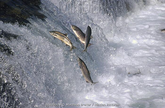 Sockeye Salmon (Oncorhynchus nerka) jumping upstream during spawning season, Brooks Falls, Katmai National Park, Alaska  -  Matthias Breiter