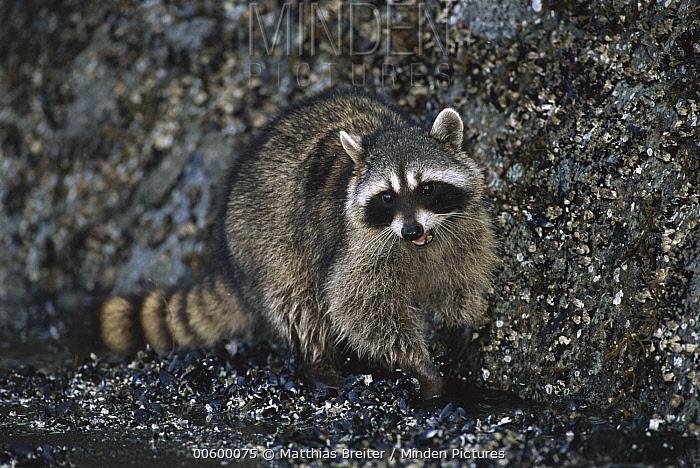 Raccoon (Procyon lotor) foraging in tidal zone, Vancouver, British Columbia, Canada  -  Matthias Breiter