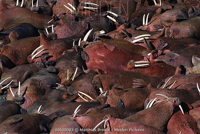 Pacific Walrus (Odobenus rosmarus divergens) group of bulls on beach, Round Island, Alaska  -  Matthias Breiter