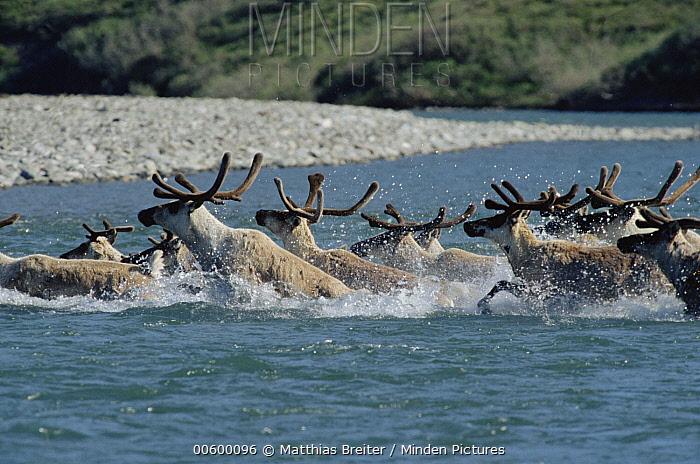 Caribou (Rangifer tarandus) herd of bulls crossing river during annual migration, Kongakut River, Arctic National Wildlife Refuge, Alaska  -  Matthias Breiter