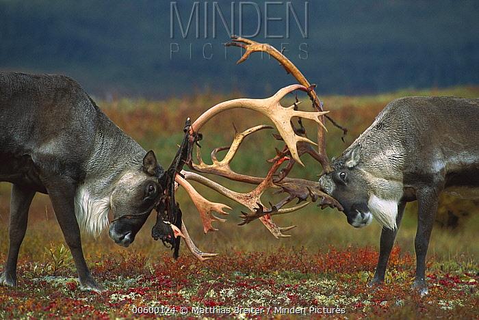 Caribou (Rangifer tarandus) two males sparring, Denali National Park and Preserve, Alaska  -  Matthias Breiter