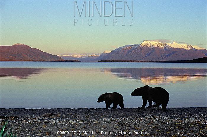 Grizzly Bear (Ursus arctos horribilis) mother and yearling on shore of Brooks Lake in evening light, Katmai National Park, Alaska  -  Matthias Breiter