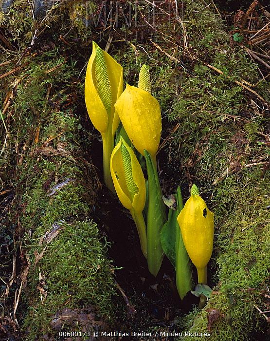 Western Skunk Cabbage (Lysichiton americanum) showing bright yellow spathe surrounding the club-like spadix, Cordova, Alaska  -  Matthias Breiter