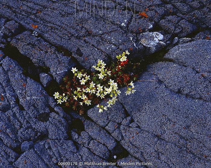 Spotted Saxifrage (Saxifraga bronchialis) blooming on Hudson Bay shore in July, Churchill, Manitoba, Canada  -  Matthias Breiter