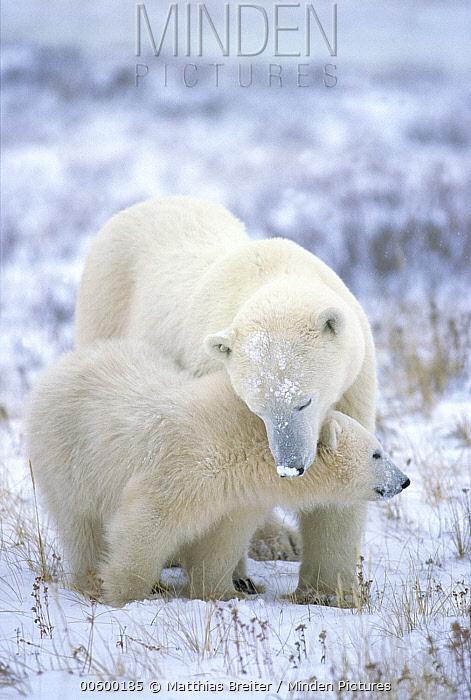 Polar Bear (Ursus maritimus) mother with cub, Churchill, Manitoba, Canada  -  Matthias Breiter