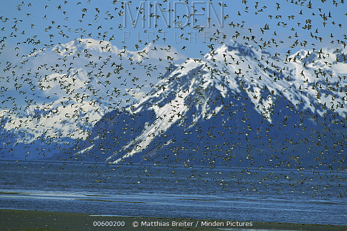 Western Sandpiper (Calidris mauri) flock flying in front of Chugach Mountains, Cordova, Alaska  -  Matthias Breiter