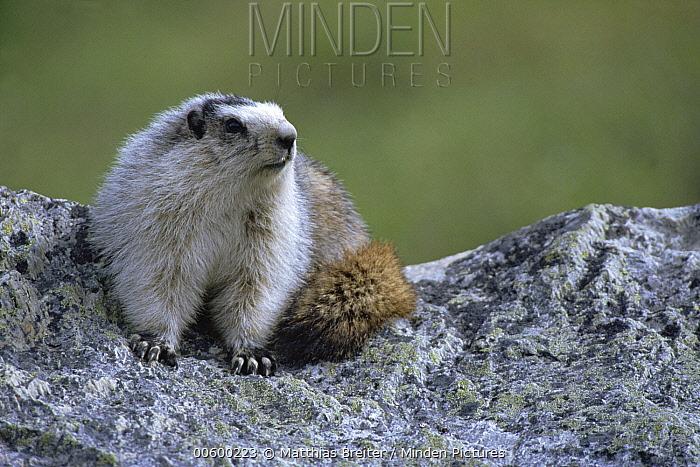 Hoary Marmot (Marmota caligata) on rock ledge, Denali National Park and Preserve, Alaska  -  Matthias Breiter