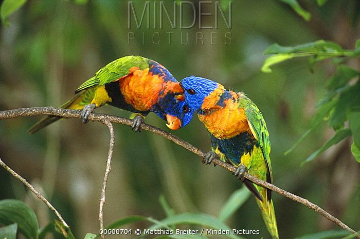 Rainbow Lorikeet (Trichoglossus haematodus) pair preening on branch, Noonamah, Northern Territory, Australia  -  Matthias Breiter