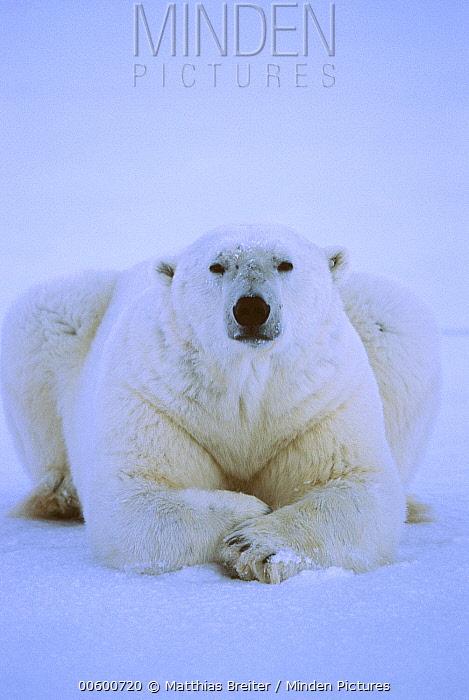 Polar Bear (Ursus maritimus) male resting on ice, Churchill, Manitoba, Canada  -  Matthias Breiter