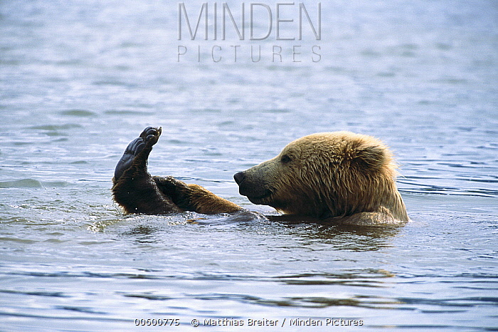 Grizzly Bear (Ursus arctos horribilis) taking bath in tidal stream, Katmai National Park, Alaska  -  Matthias Breiter