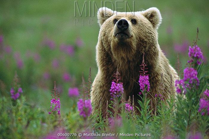 Grizzly Bear (Ursus arctos horribilis) female in field of Fireweed (Chamerion angustifolium), Katmai National Park, Alaska  -  Matthias Breiter